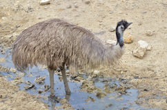 Emu in the puddle Royalty Free Stock Image