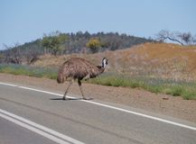 Emu on the road in a rural landscape Stock Images