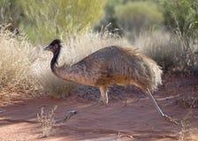 Emu running. Australia's flightless bird the Emu stock photos