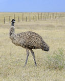 Emu in rural environment Royalty Free Stock Photography