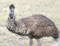 Emu in rural environment Royalty Free Stock Photos