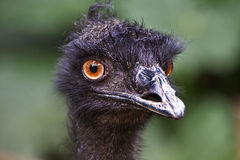 Emu's Bad Hair Day. This is an image of Emu's Bad Hair Day. It has an AdobeRGB(1998) color profile Stock Photo
