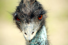 Emu's Head Royalty Free Stock Photo