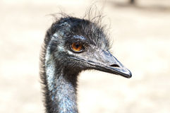 Emu's head profile Stock Images