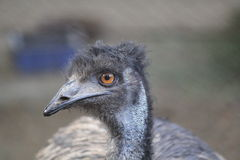 Emu's portrait. A closeup of an emu Royalty Free Stock Images