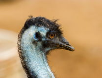 Emu. The emu is the second-largest living bird by height, after its ratite relative, the ostrich. It is endemic to Australia where it is the largest native bird Stock Photo