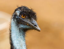 Emu. The emu is the second-largest living bird by height, after its ratite relative, the ostrich. It is endemic to Australia where it is the largest native bird Stock Images