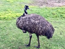 Emu. Bird. Australia royalty free stock image