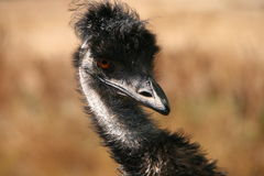 Emu selvagem Imagem de Stock Royalty Free