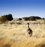 Emu selvaggio Fotografie Stock Libere da Diritti