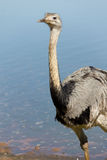 Emu smiling Royalty Free Stock Image
