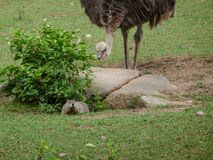 Emu sneaking up on groundhog. An emu or ostrich sneaking up behind rocks on unsuspecting groundhog coming out of den Stock Photography