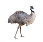 Emu som isoleras på vitbakgrund fotografering för bildbyråer