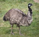 Emu Standing Royalty Free Stock Image