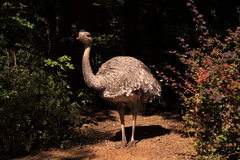 Emu standing in the sunlight Royalty Free Stock Photography