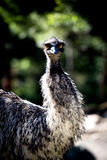 Emu staring with its wide open bright orange eyes Stock Image