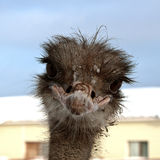 Emu. Sweet ostrich Royalty Free Stock Photo