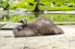 Emu take rest Royalty Free Stock Images