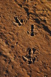 Emu Ostrich Tracks in Australian outback desert Stock Photography