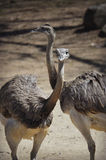 Emu Stock Photography