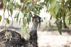 Emu under the shade of a tree. An emu in the shade of an Australian Gum Tree royalty free stock photo