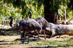 Emu. Is a very large animal dismembered wings but can not fly commonly found in Australia and Africa Stock Photography