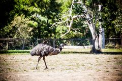 Emu. Is a very large animal dismembered wings but can not fly commonly found in Australia and Africa Stock Image