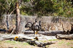 Emu is a very large animal dismembered wings but can not fly. Commonly found in Australia and Africa Stock Image