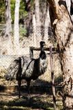 Emu is a very large animal dismembered wings but can not fly. Commonly found in Australia and Africa Royalty Free Stock Image