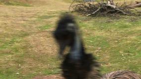 Emu walking on grass close up to camera. Emu looking at camera close up funny stock video