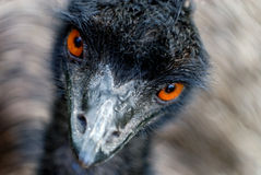Emu watching Stock Images