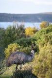 Emu, Yorke-Halbinsel, Süd-Australa stockbilder