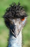 Emu. Are you looking at me Stock Image