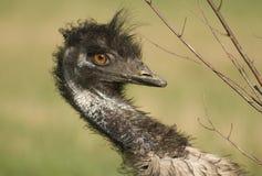 Emu zbliżenie Fotografia Royalty Free