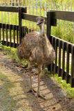 Emu in Zoo. Picture of a Curious Emu in Zoo Stock Image