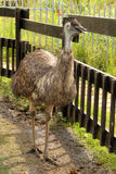 Emu in Zoo. Picture of a Curious Emu in Zoo Stock Photography