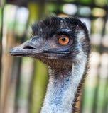 Emufågelhuvud och hals Arkivfoto
