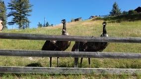 Emufåglar Arkivbild