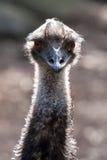 Emuhuvud och hals i solljuset Arkivbilder