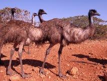 Emus, Αυστραλία Στοκ Εικόνες