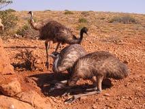 Emus, Αυστραλία Στοκ Φωτογραφίες