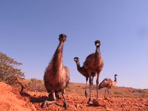 Emus, Αυστραλία Στοκ Εικόνα