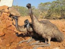 Emus, Αυστραλία Στοκ εικόνες με δικαίωμα ελεύθερης χρήσης