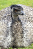 emus Photos stock