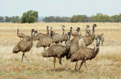 emus photographie stock libre de droits