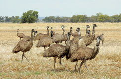 emus Royaltyfri Fotografi