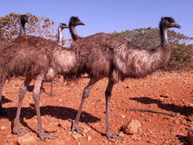 Emus, australia Stock Images