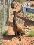 Emus, australia Royalty Free Stock Images