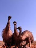 Emus, australia Stock Photo