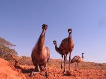 Emus, australia Stock Image